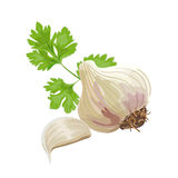 Garlic and parsley. Whole garlic, one clove and parsley leaf  on white. Vector illustration Royalty Free Stock Images