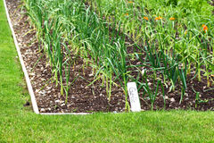 Garlic Patch. Garden patch with garlic in a row Royalty Free Stock Photo