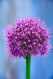 Decorative garlic Royalty Free Stock Photo