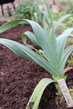 Garlic Plant in garden Stock Photos