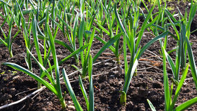 Garlic plant vegetable garden Royalty Free Stock Images