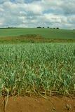 Garlic Plantation Royalty Free Stock Photography
