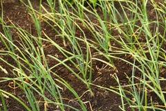 Garlic plantation Royalty Free Stock Image
