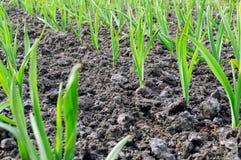 Garlic plantation Stock Images