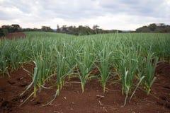 Garlic Plantation Stock Image