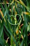 Garlic plantation. The Rural garlic plantation. close-up Royalty Free Stock Image