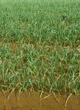 Garlic Plantation Royalty Free Stock Photo
