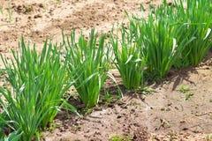 Garlic plantation in the vegetable garden Royalty Free Stock Photos