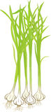 Garlic Plants Stock Photos