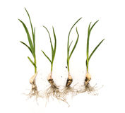 Garlic plants with roots on isolated white background Stock Image