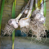 Garlic plucked from the garden Stock Photography