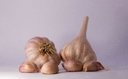 Garlic. It`s a strong-smelling pungent-tasting bulb, used as a flavoring in cooking and in herbal medicine Royalty Free Stock Photography
