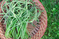 Garlic Scapes Stock Photography