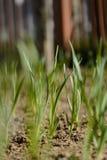 Garlic seedlings Stock Photo