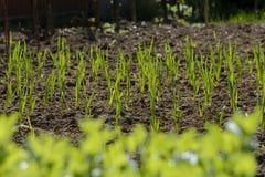 Garlic seedlings Royalty Free Stock Photo