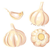 Garlic set. Four images. Isolated on white. Vector illustration Royalty Free Stock Photography
