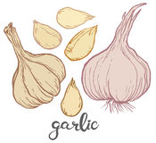 Garlic and some cloves of garlic Stock Image