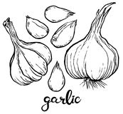 Garlic and some cloves of garlic Stock Images
