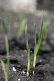 Garlic sprout grows from the earth Stock Photography