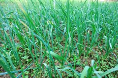 Garlic sprout in growth at vegetable garden Stock Photo