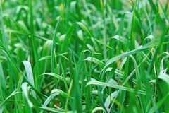 Garlic sprout in growth at vegetable garden Royalty Free Stock Photo