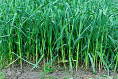 Garlic sprout in growth at vegetable garden Stock Image