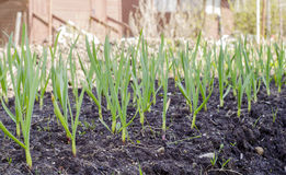Garlic sprouts. In the flower bed in the black earth in the spring in Sunny weather Royalty Free Stock Image