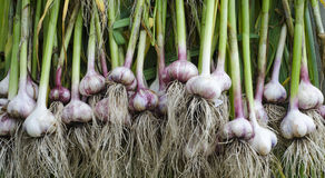 Garlic stem root. The stem and root of garlic in large quantities are dried in the fresh air Royalty Free Stock Image