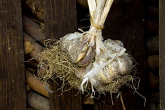 Garlic store. Some garlic nodules drying in front of a shed stock photography