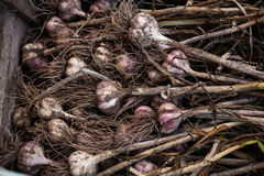 Garlic. The summer ends Royalty Free Stock Photography