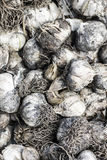 Garlic texture background Royalty Free Stock Photography