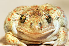 Garlic toad beautiful portrait Royalty Free Stock Photography