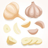 Garlic in various forms. Vector illustration. Stock Photo