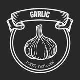 Garlic vector drawing. Garlic vector chalk style drawing  label plant. Hand drawn engraved vector sketch etch illustration. Spice ingredient for coocking Royalty Free Stock Images