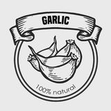 Garlic vector drawing. Label plant. Hand drawn engraved vector sketch etch illustration. Spice ingredient for coocking. Mexican food Royalty Free Stock Photos