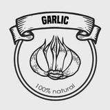 Garlic vector drawing. Label plant. Hand drawn engraved vector sketch etch illustration. Spice ingredient for coocking. Mexican food Stock Photography