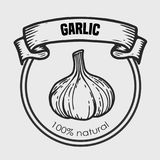 Garlic vector drawing. Label plant. Hand drawn engraved vector sketch etch illustration. Spice ingredient for coocking. Mexican food Royalty Free Stock Photo