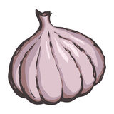 Garlic. Vector drawing Stock Photo