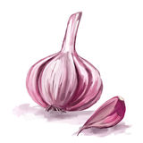 Garlic vector illustration  hand drawn  painted Stock Image
