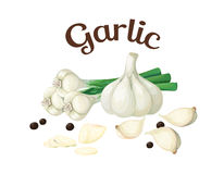 Garlic. Vector illustration made in a realistic style Stock Photography