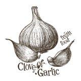 Garlic vector logo design template. fresh Royalty Free Stock Photo