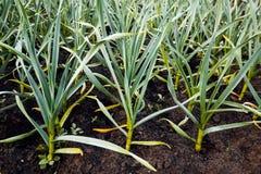 Garlic in vegetable gardens Stock Photo