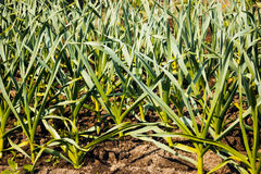 Garlic in vegetable gardens. Young green stems garlic in vegetable gardens Stock Image