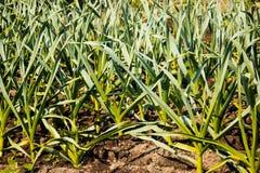 Garlic in vegetable gardens Stock Image