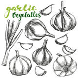Garlic vegetable set hand drawn vector illustration realistic sketch Royalty Free Stock Photo