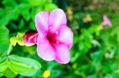 Garlic vine blooming. Pink garlic vine blooming in garden royalty free stock images