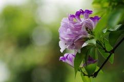 Garlic Vine Flower Royalty Free Stock Photo