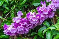 Garlic Vine Flower Royalty Free Stock Images