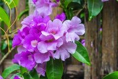 Garlic Vine Flower Stock Photos