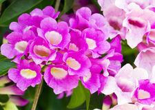 Garlic vine flower Stock Images